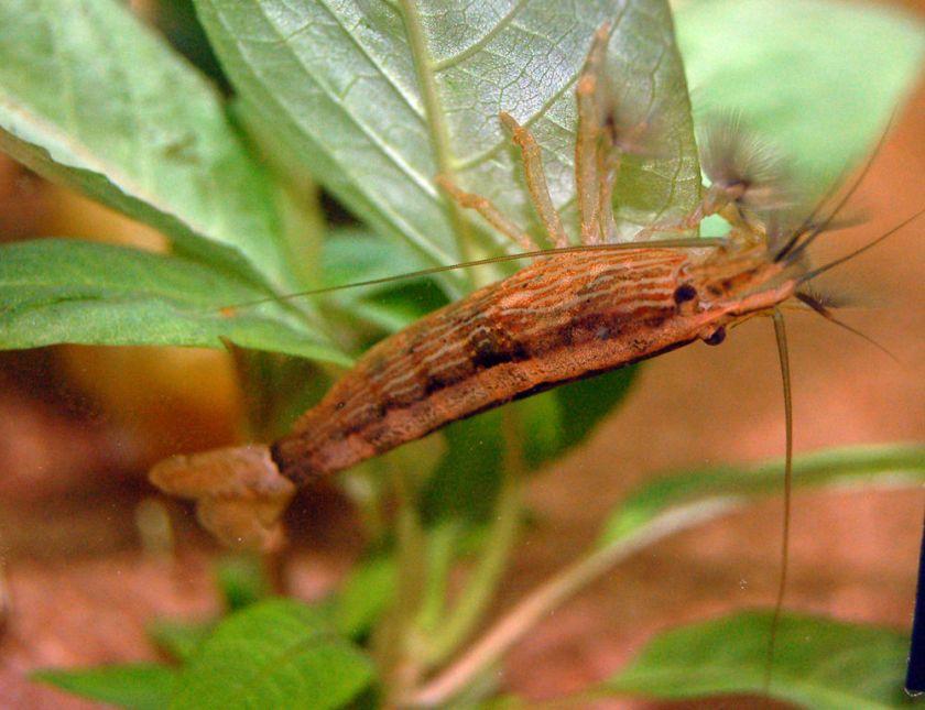 Viftereke (Atyopsis moluccensis)