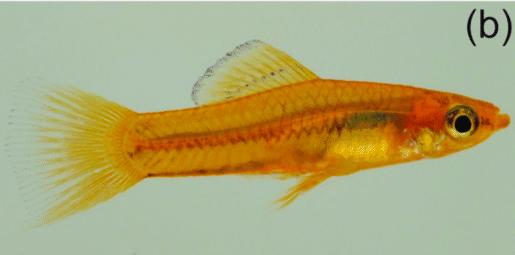 Pygmésverddrager (Xiphophorus pygmaeus)