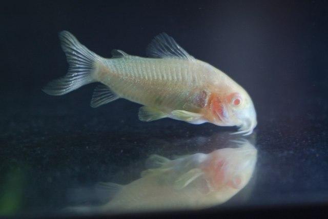 "Albinopansermalle (Corydoras aeneus var. ""albino"")"