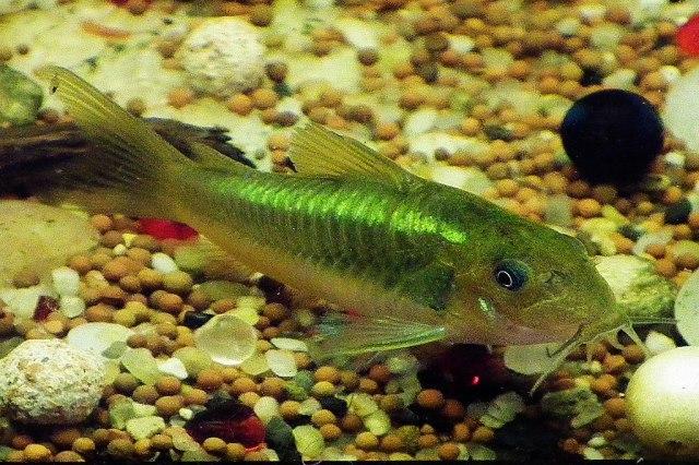"Corydoras sp. ""green laser"" (CW009)"