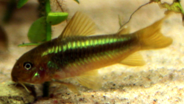 "Corydoras sp. ""green laser"""
