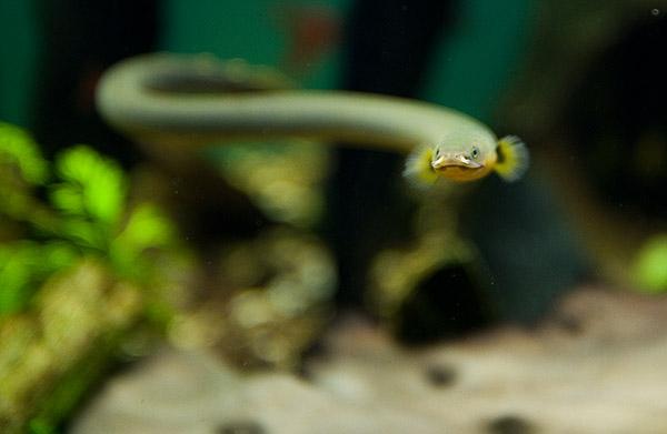 Øreål (Erpetoichthys calabaricus) som svømmer