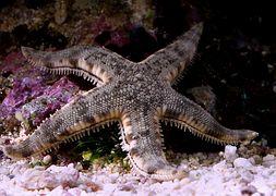 Морская звезда обычная песочная