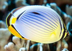 Трехполосая рыба-бабочка