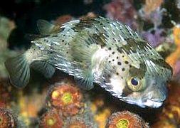 Рыба-еж длинноиглая