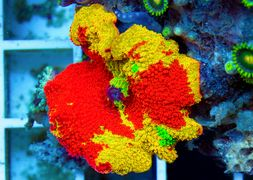 discosoma-colour-mushroom
