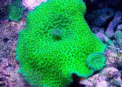 discosoma-green-giant-mushroom