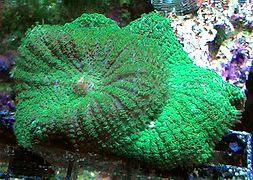 discosoma-green-mushroom