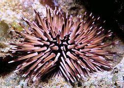 Морской еж ехинометра грифельный