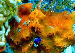 haliclona-orange-sponge