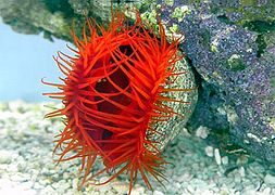 limaria-red-flame-scallop