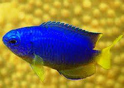 Помацентрус синий желтобрюхий