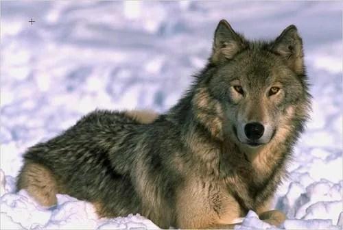 https://i2.wp.com/akvis.com/img/examples/sketch/wolf-color-sketch/wolf-color-photo.jpg