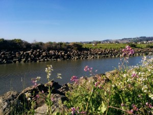 Wildflowers along the water at Point Isabel
