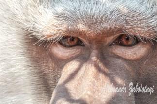 фотографії тварин, мавпа, фотографії мавпи
