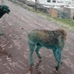 """""""كلاب ملونة"""" تثير مواقع التواصل في تركيا"""
