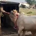 بالفيديو .. بقرة تقتل مزارعاً بـ«ركلة واحدة» في الهند
