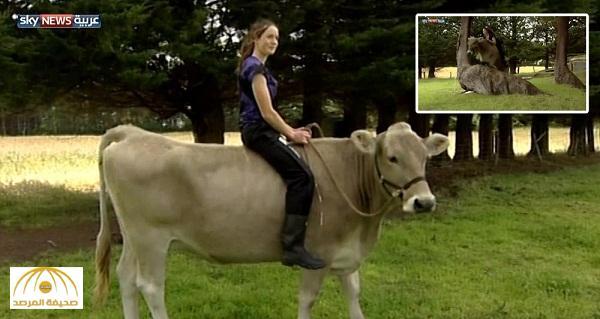"""بالفيديو .. شاهد كيف حولت فتاة بقرة إلى """"حصان أصيل"""""""