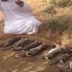 """بالفيديو : اصطياد أرانب برية نادرة بصحراء المملكة.. و """"الحياة الفطرية"""" ترد"""