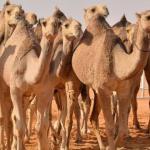 """طبيب بيطري يجري عمليات  تجميل """" للإبل"""" في مهرجان الملك عبدالعزيز"""