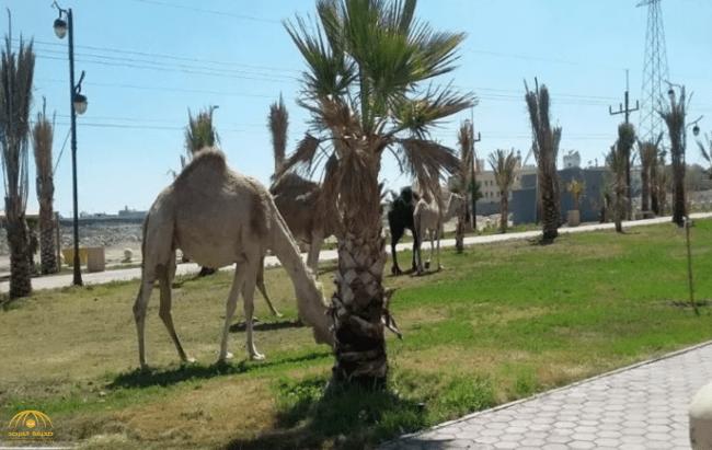 أول تعليق من بلدية خميس مشيط على تحويل ممشى رياضي إلى مرعى للإبل!