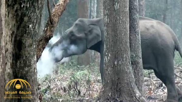 وضع العلماء في مأزق.. شاهد: فيل يدخن داخل محمية في الهند!