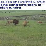 """شاهد : كلب شجاع  يهاجم """"أسد"""" و """"لبؤة""""  .. وردة فعل صادمة من """"ملك الغابة"""" !"""