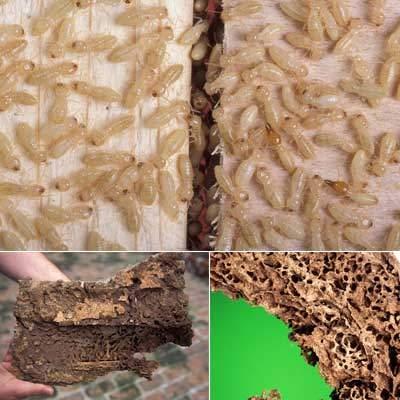 القضاء علي الارضة شركة مكافحة النمل الابيض بالرياض شركة مكافحة النمل الابيض بالرياض 0501515313