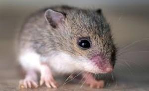 شركة مكافحة فئران بتبوك شركة مكافحة فئران بتبوك 0560600292 Anti rat Tabuk company