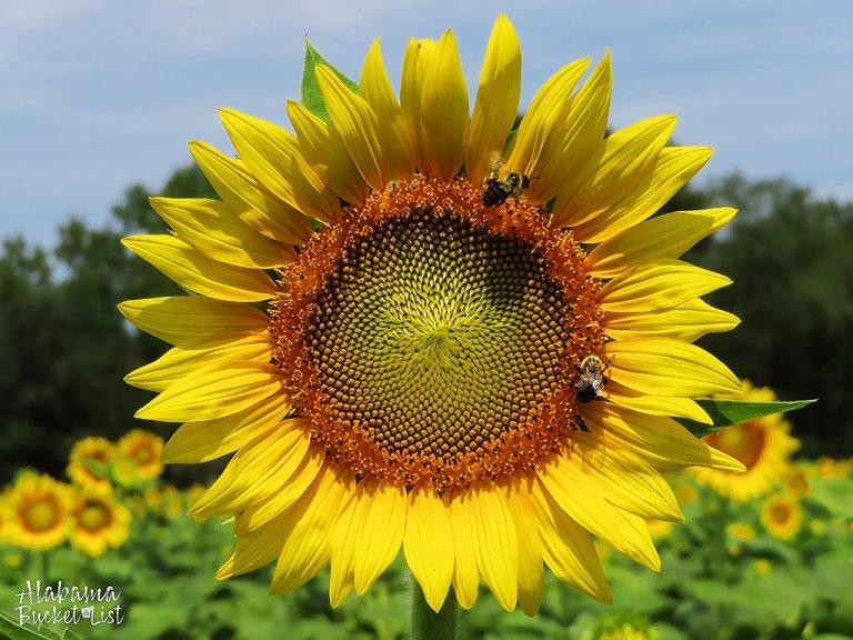 Sunflower Fields in Alabama-17