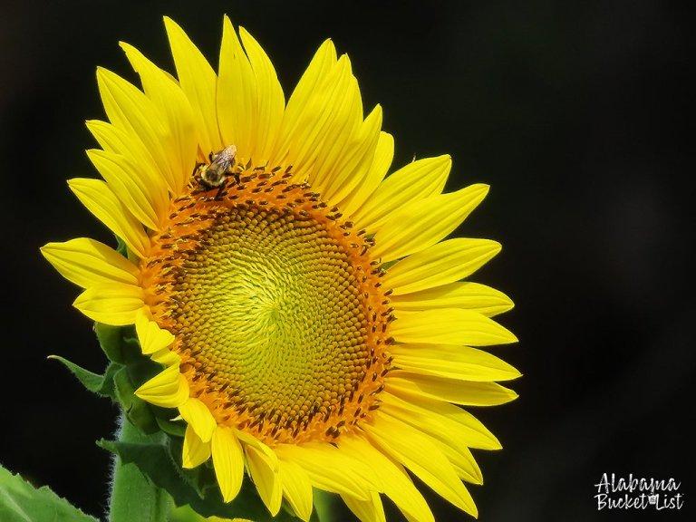 Sunflower Fields in Alabama-20