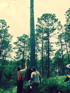 Spadgenske uses a special video camera, attached to a long pole, to peek into the cavity of a longleaf pine where the red cockaded woodpecker nestlings have just hatched.