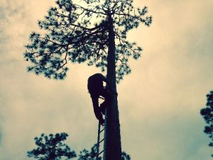 Eric Spadgenske with the U.S. Fish and Wildlife Service uses a special ladder to scale a longleaf pine to collect one of three rare, red-cockaded woodpecker nestlings.
