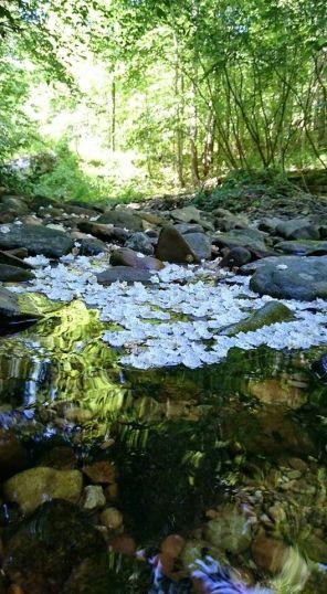 Mountain Laurel blossoms in the creek. (Photo courtesy of Rochelle Warren)