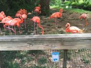 Another Pokemon Go card at the American Flamingo exhibit at The Birmingham Zoo (Brittany Faush-Johnson/Alabama NewsCenter)