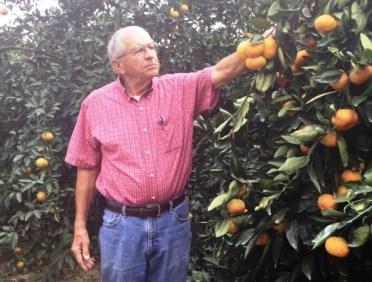Dallas Hartzog checks on his satsumas. (Linda Brannon/Alabama NewsCenter)
