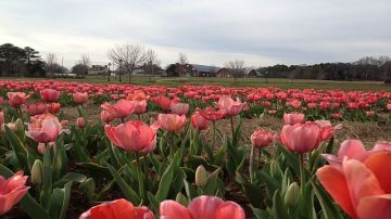 American Village debuts Festival of Tulips. (Donna Cope / Alabama NewsCenter)