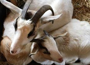 Goats awakening in the morning. (Donna Cope / Alabama NewsCenter)