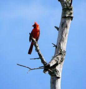 Northern cardinal, Audubon Bird Sanctuary, Dauphin Island. (Erin Harney)