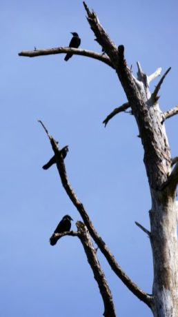 Brewer's blackbird, Audubon Bird Sanctuary, Dauphin Island. (Erin Harney)