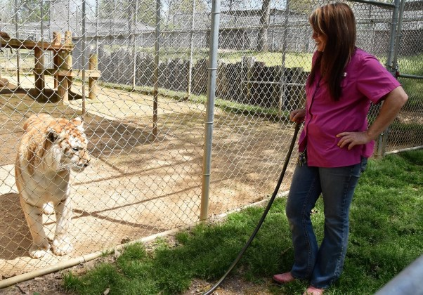 Susan Steffens and the Tigers for Tomorrow wildlife preserve give wild animals emotional nourishment and respect as well as food and medicine. (Karim Shamsi-Basha/Alabama NewsCenter)