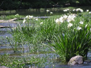 Cahaba Lily Festival. (Contributed)
