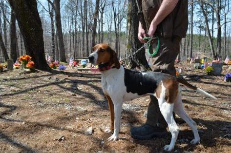 Vanessa is Franky Hatton's two year old Treeing Walker Champion Female. (Anne Kristoff / Alabama NewsCenter)