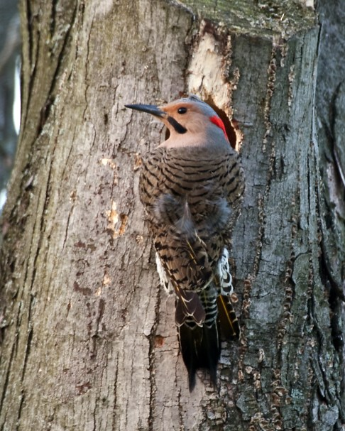 Male yellow-shafted northern flicker, Cincinnati, Ohio, 2008. (Greg Hume, Wikipedia)