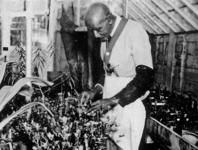 Much of George Washington Carver's research aimed to ease sharecroppers' dependence on cotton. He focused on less demanding crops that did not deplete the soil, such as sweet potatoes and cow peas. (From Encyclopedia of Alabama, courtesy of the Alabama Department of Archives and History)