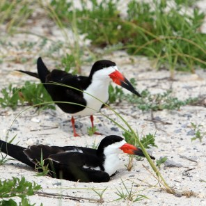 A pair a nesting black skimmers in the sand near Navarre, Florida. (JLFCapture, Getty Images)