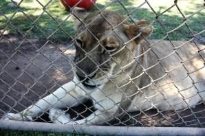 Patti Hall, director of the Alabama Gulf Coast Zoo, is seeking municipal bond funding for the zoo's new location. (Robert DeWitt / Alabama NewsCenter)