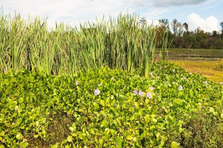Water hyacinth blooms are pretty, but the plants can cause problems on lakes. (Phil Free/Shorelines)