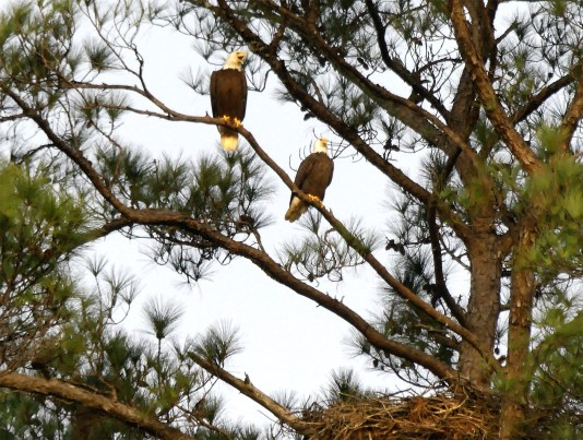 Bald eagle pair at nest at Kreher Nature Preserve. (Copyright © Lew Scharpf)
