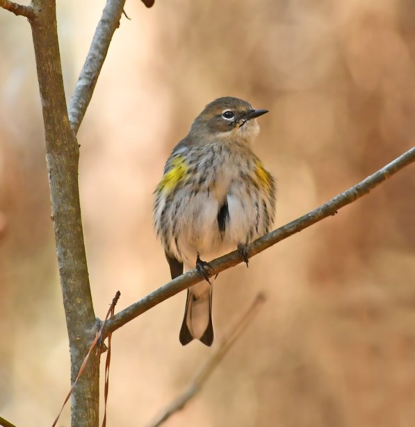 Yellow-rumped warbler at the Kreher Nature Preserve. (Copyright © Lew Scharpf)